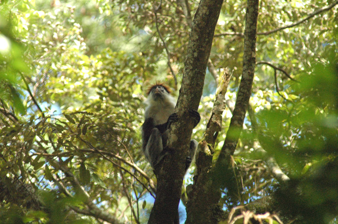 Udzungwas-Red-Colobus