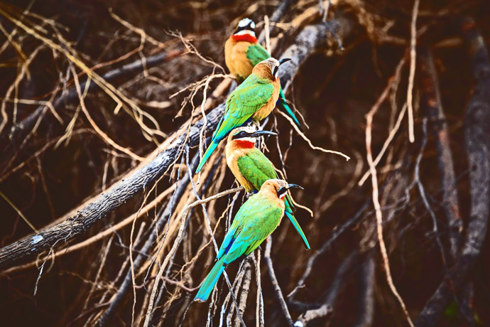 White-Fronted-Bee-eaters