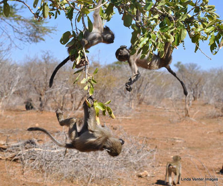 baboons-playing