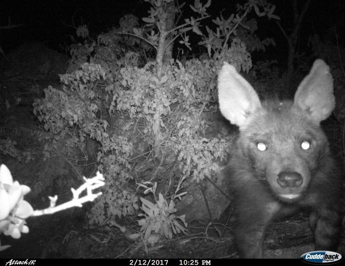 brown-hyena