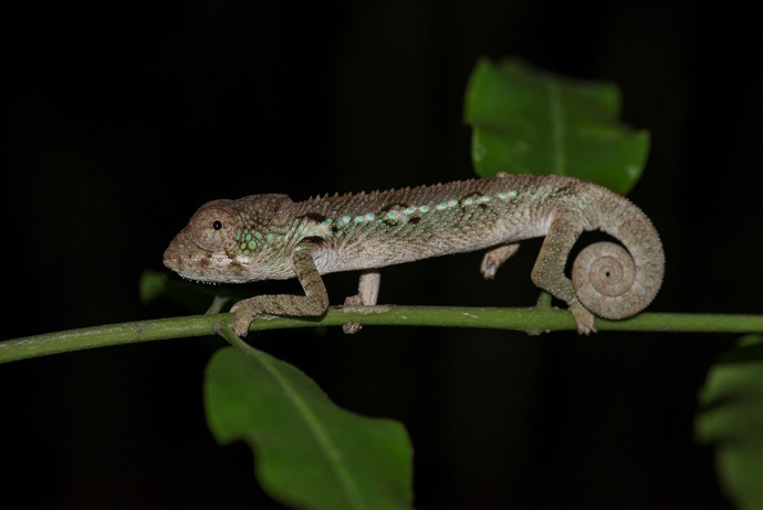 chameleon-madagascar