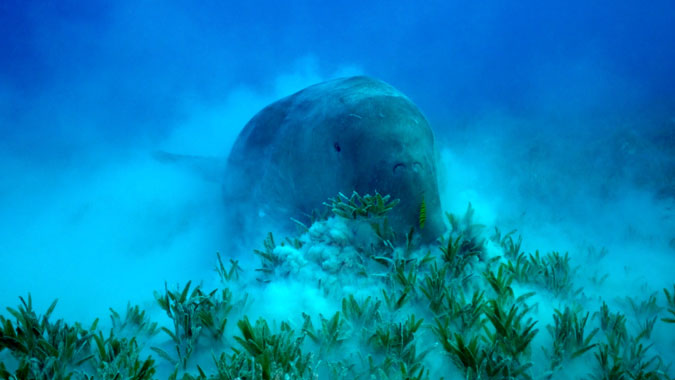 fully-grown-dugong