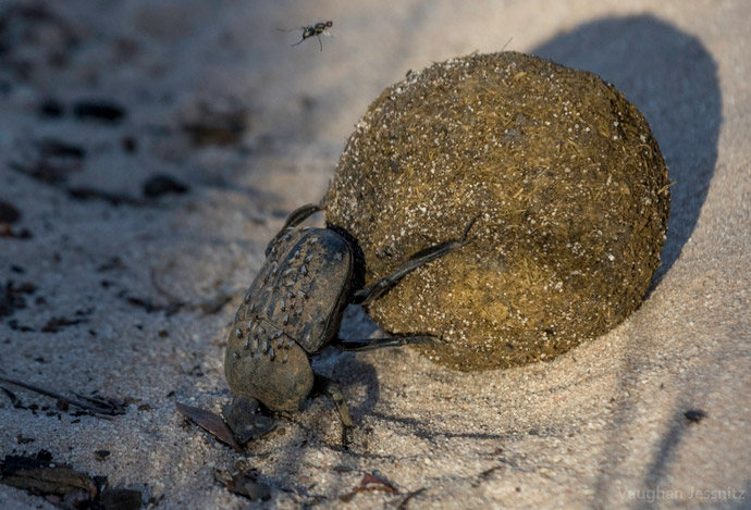 dung-beetle-ball