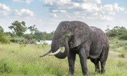elephant-Makuleke