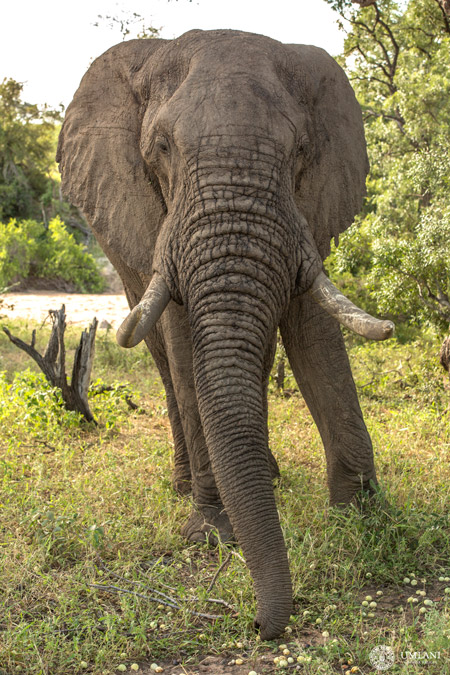 elephant-marulas