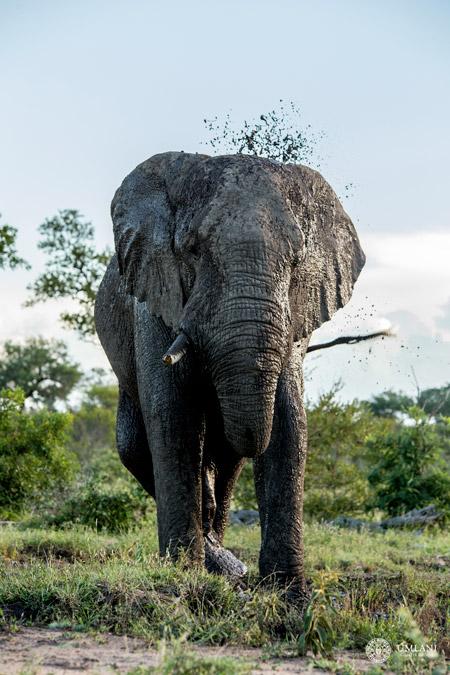 elephant-mud-bath
