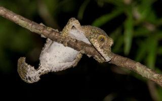 gecko-madagascar