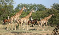 giraffe-horse-safari