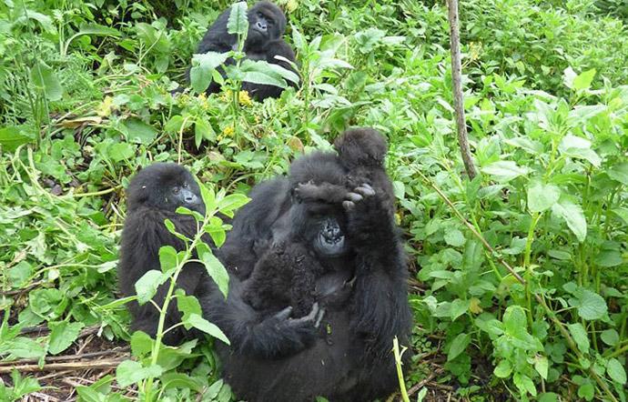 gorilla-trek-rwanda