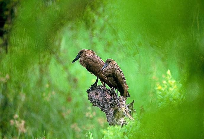 hamerkop-in-green-natural-frame