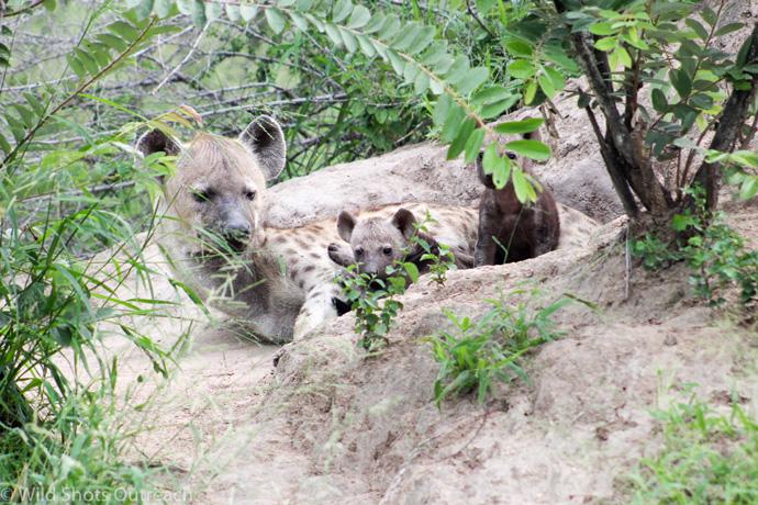 hyena-pup