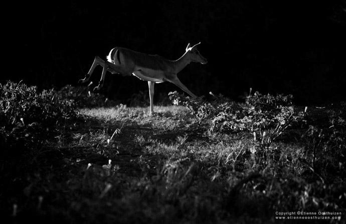 impala-black-white