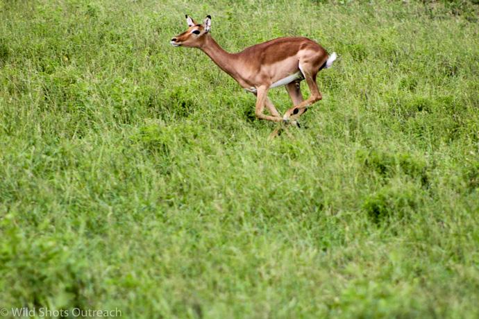 impala-running