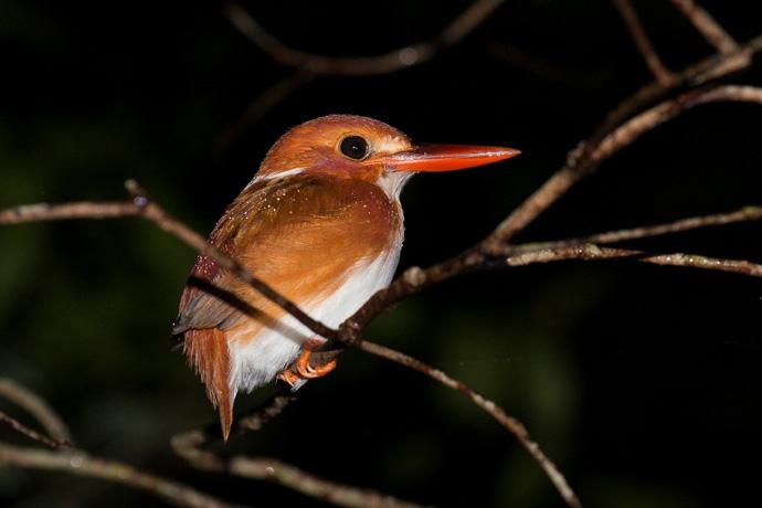 kingfisher-madagascar