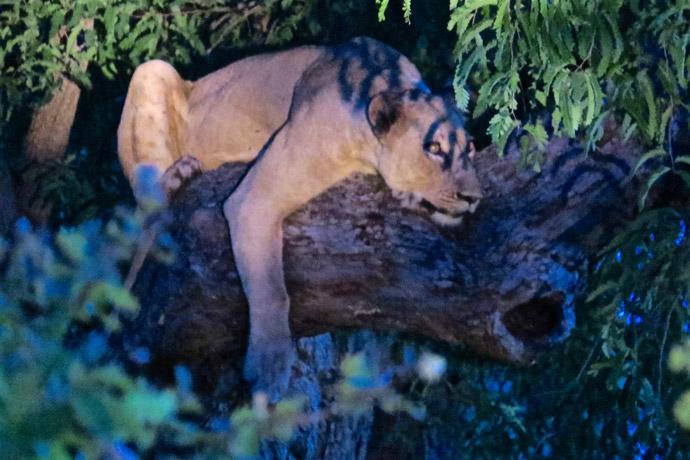lion-climbing-tree