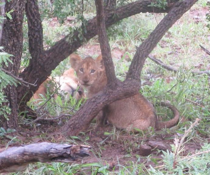 lion-cub-in-rain