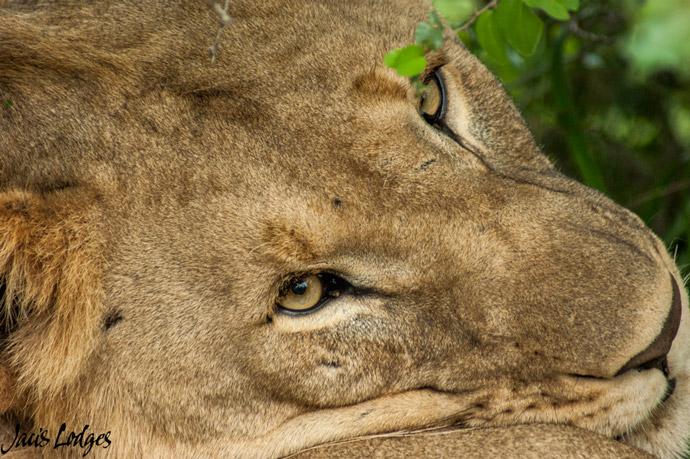 lion-jacis-lodges