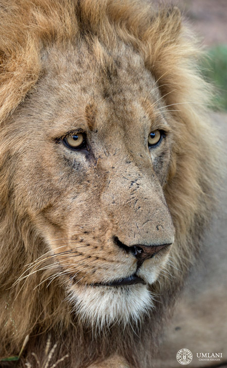 lion-mane