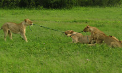 lion-playing-tug-of-war
