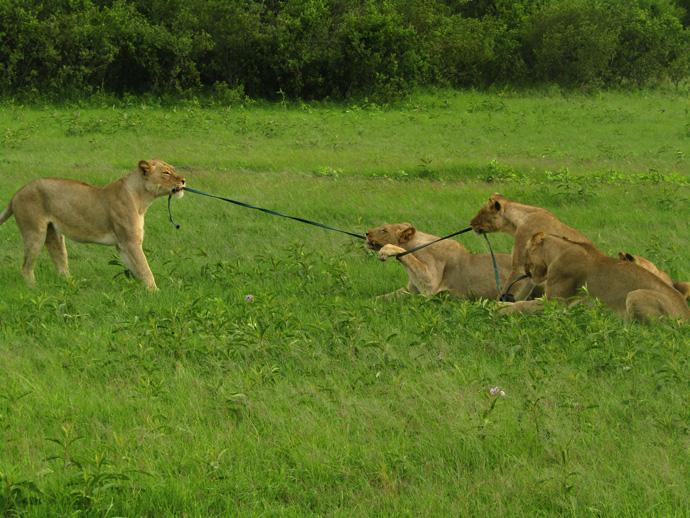 lion-playing-tug-of-war