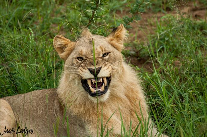 lion-snarl