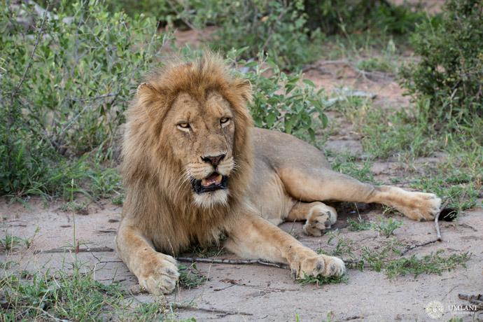 lion-umlani