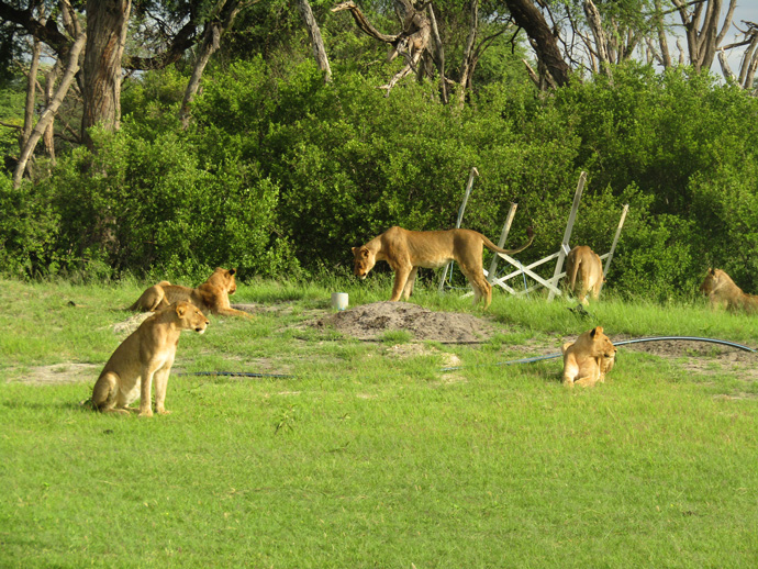 lions-in-camp