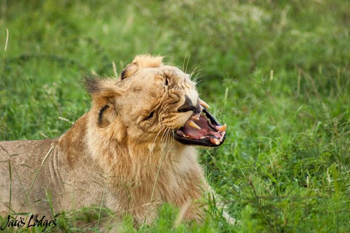 lions-snarl