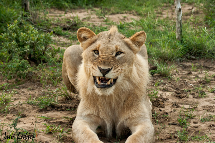 lions-snarling