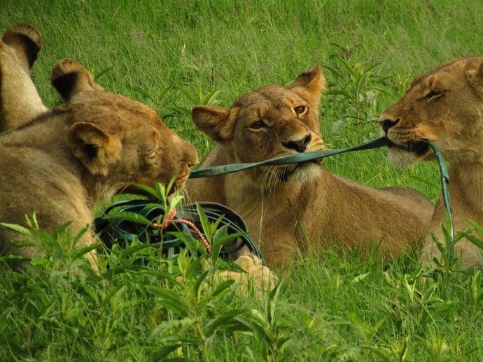 lions-tug-of-war