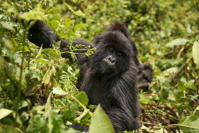 volcanoes-gorilla-trekking
