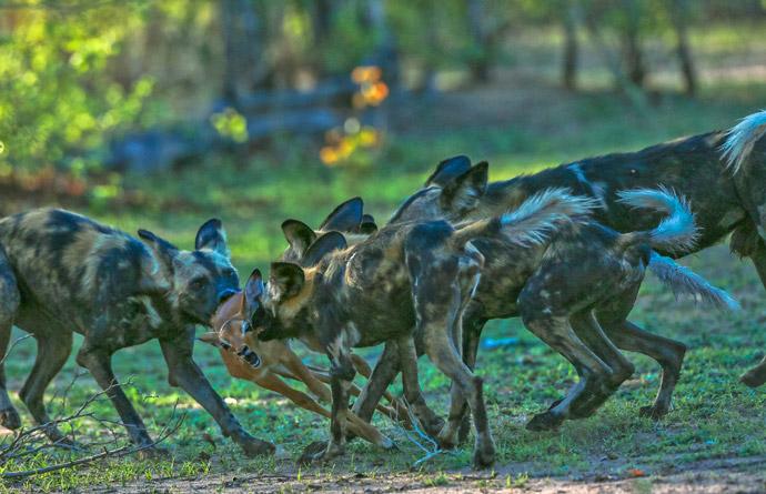 wild-dogs-baby-impala