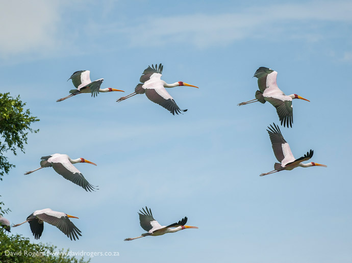 yellow-billed-storks