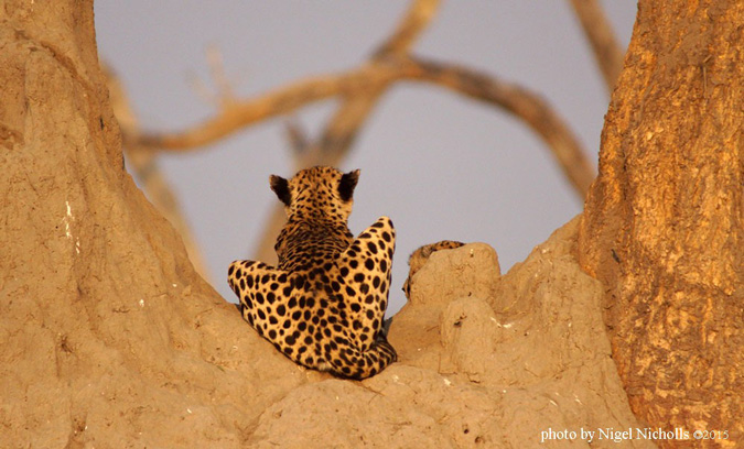 Alison Nicholls, cheetah