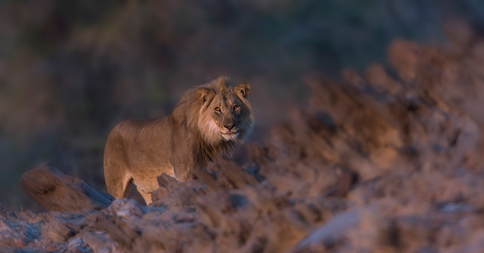 desert lions