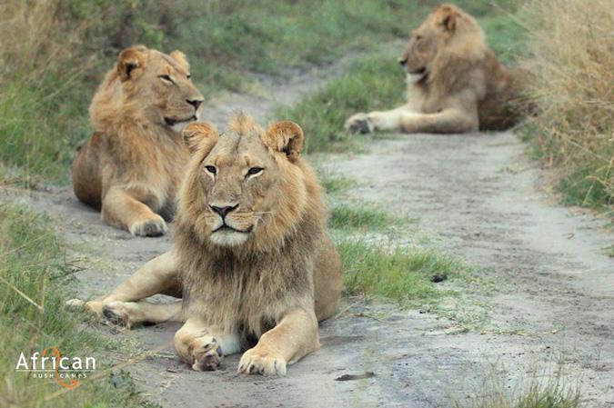 lions, male,