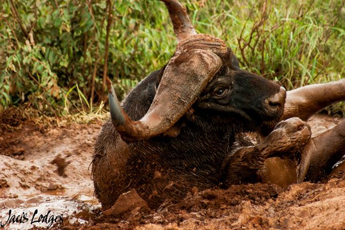 buffalo, mud