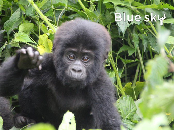 Blue Sky Society, Africa expedition, gorilla