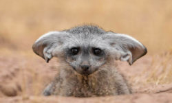 Instagram, bat-eared fox