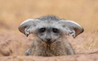 Instagram, bat-eared fox