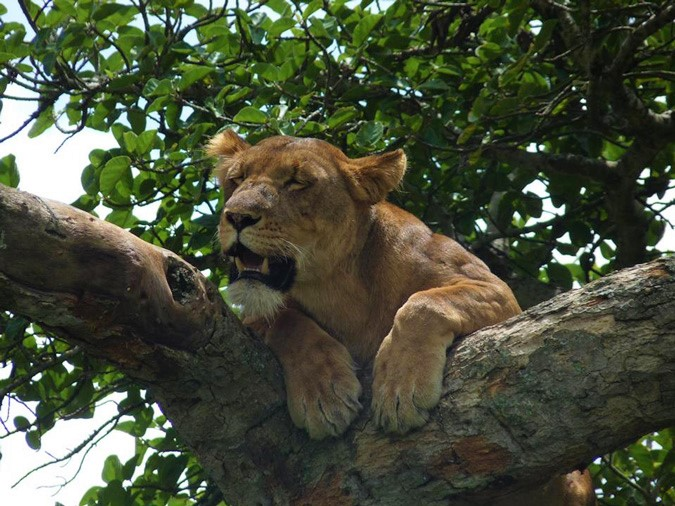Queen Elizabeth National Park, lion