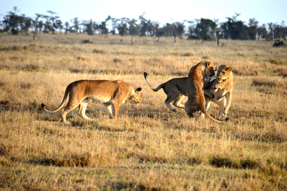 Three lions playing