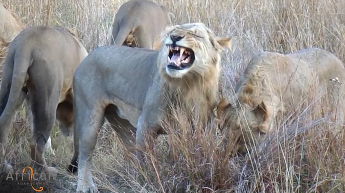lions, male
