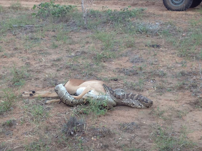 African rock python eating impala