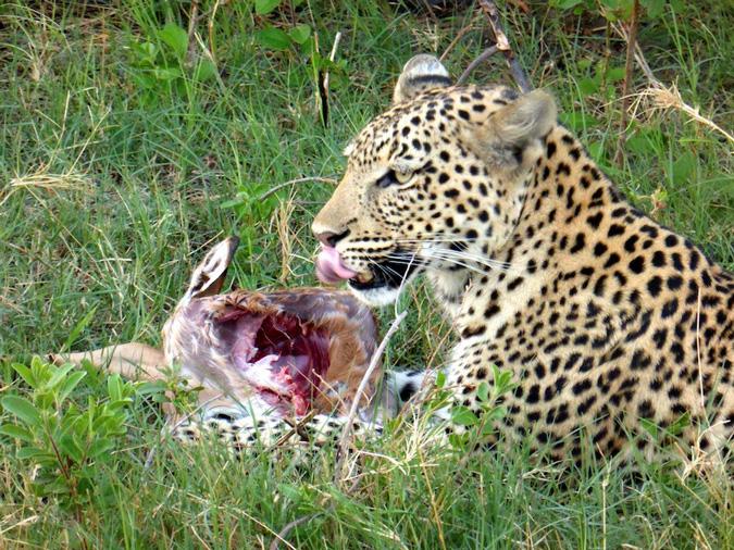 Botswana, Okavango Delta, leopard