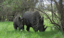 4x4 Uganda, Masindi, rhino tracking