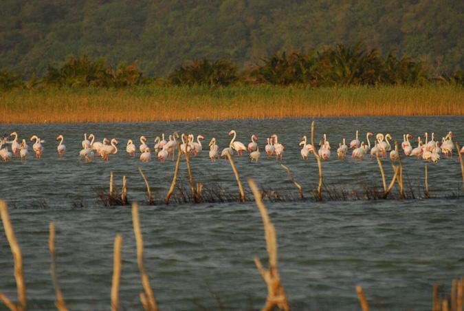 Kosi Bay, flamingo