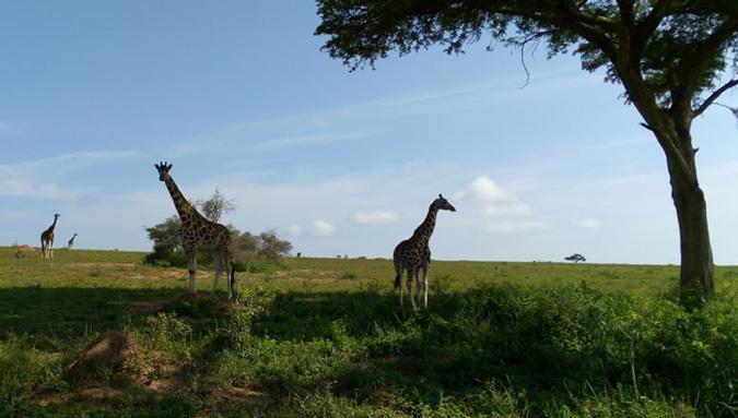 4x4 Uganda, Masindi, giraffe