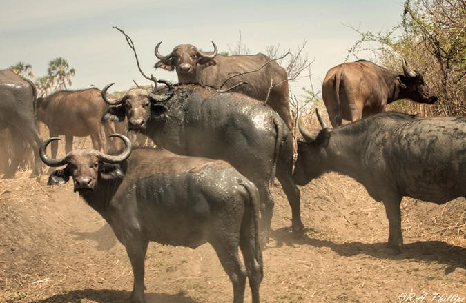 Buffalo, Mdonya Camp, Tanzania