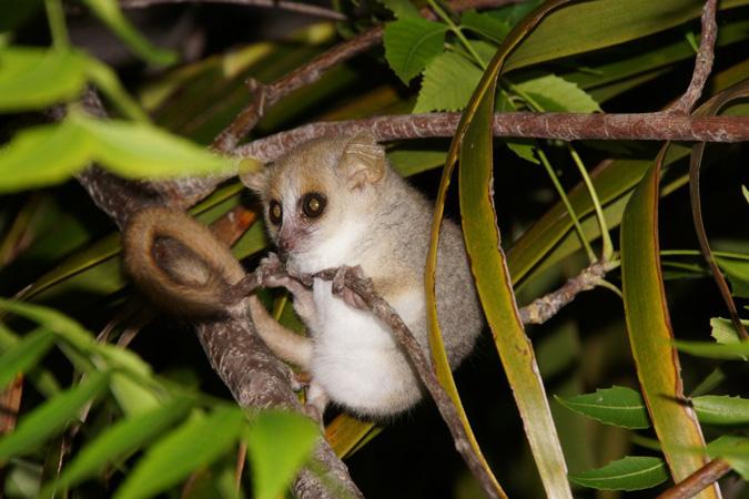 Lemur, Andasibe-Mantadia National Park, Madagascar